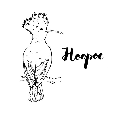 hand drawn set of graphic isolated bird Hoopoe with handwritten words lettering on white background