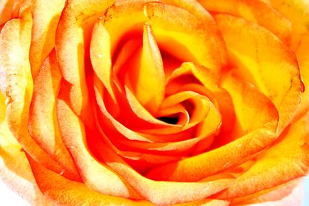 rose petals, rosebud, the middle of a flower, a rose, the open rosebud Stock Photo - 6702607