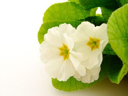 primula: Spring flowers: primula Stock Photo