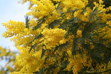 Mimosa tree overflowing with spring blossoms photo