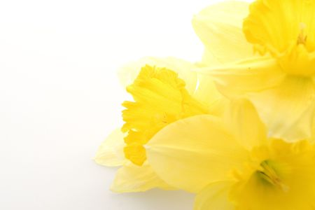 garden key: yellow daffodils Stock Photo