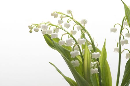 florescence: Spring lily of the valley flowers on green