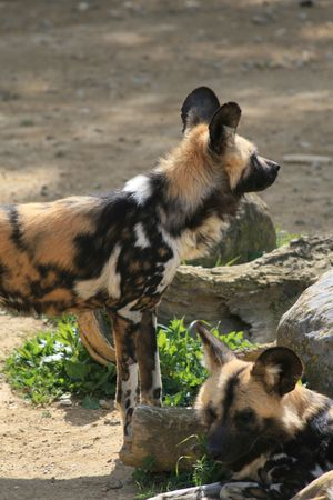 lycaon pictus: African wild dog (lycaon pictus)