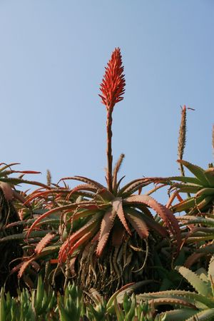 flowers of the aloe vera plant against a blue sky   photo