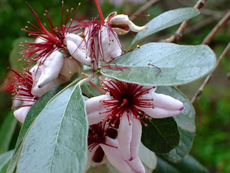 myrtaceae: Flowers of Myrtaceae ( Acca sellowiana Burret) Stock Photo