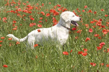 great pyrenees: Great Pyrenees Dog on the field with  Poppy flowers