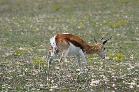 springbok: springbok antelope, South Africa   Stock Photo