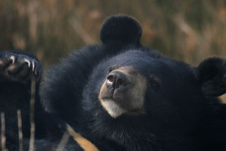 a close up of the black bear   Stock Photo - 1283398