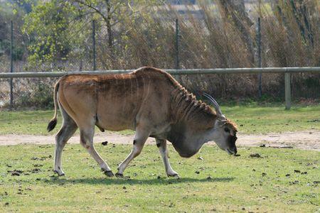 oryx: Eland Antelope Tragelaphus oryx