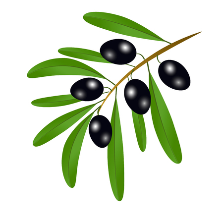 Branch with black olives and leaves to decorate the labels of olive oil or cream isolated on white background Vector illustration