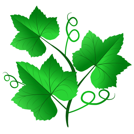 Vector illustration of green grape leaves isolated on white background. Used as elements and objects of design banners, leaflets, labels.