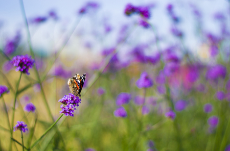 Purple lavender and green grass and butterfly in the Park. Banque d'images - 109323848