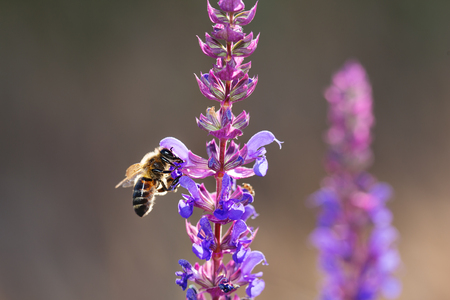 Bee on violet and purple flower collecting pollen. Macro. Stock Photo