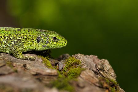 Green lizard (Lacerta viridis) is a species of lizard of the genus Green lizards