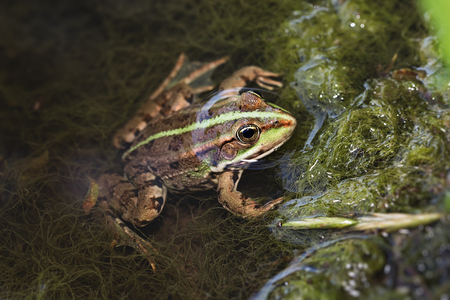 lessonae: Slose up of edible frog standing in shallow water