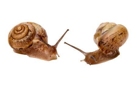 Two garden snail isolated on white background