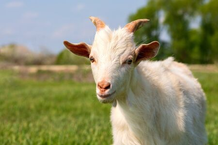 A young goat grazes in a meadow. Little goat portrait. Goat on a pasture