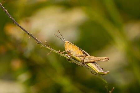 Grasshopper sit on green branch with green nature blurred background. Macro, close up.