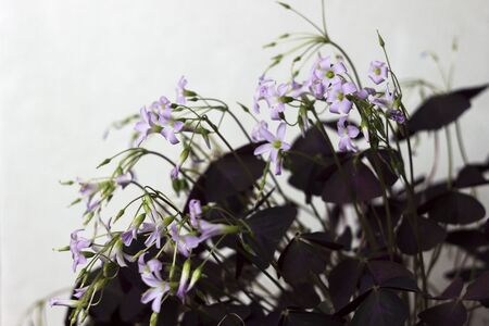 Flowering Oxalis triangularis - indoor plant with triangular purple leaves, background