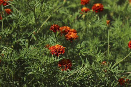 Marigolds bloom in the garden in summer, a beautiful bright orange-yellow flowers background