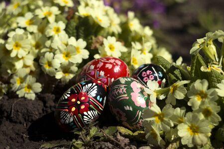 Ukrainian national krashanki lie on the ground against the background of yellow and pink primrose. Easter eggs near spring flowers. 版權商用圖片