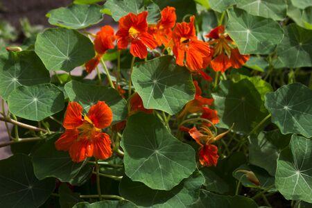 Tropaeolum majus, nasturtium - garden orange flowers, Indian cress