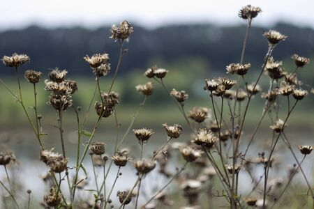 A lot of dry prickly plant in the field, background, autumn  版權商用圖片