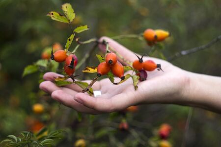 Ripe rose hips, Young woman collects crop of medicinal plants, background Imagens