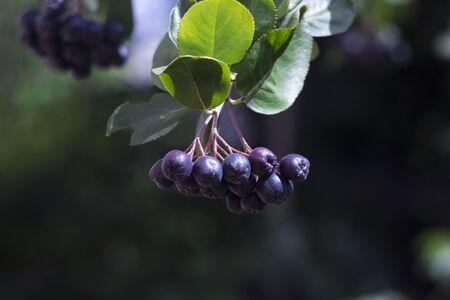 Black chokeberry (Aronia melanocarpa) fruit in the garden