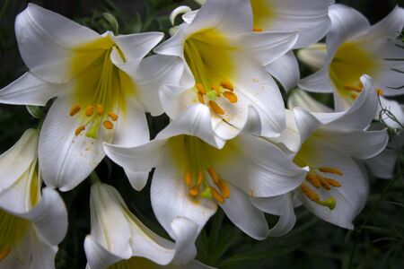 A lot of flowers of white lilies blooming in the garden, beautiful flowers, background