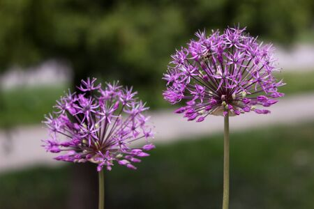 Allium Gladiator - beautiful lilac blossoms in the garden, ornamental bulbous plant. Nature background 스톡 콘텐츠