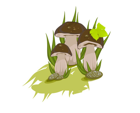 Three edible mushrooms on white background