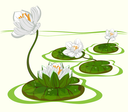 Four white flowers of water lily on the water