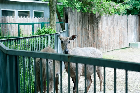 eyecontact: Young deer behind the fence on the zoo Stock Photo