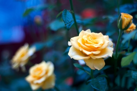 Rose bushes with yellow blossoms and buds. Rose garden Stock Photo