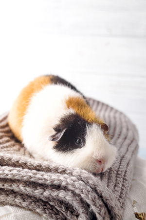 Christmas card with guinea pig Stock Photo