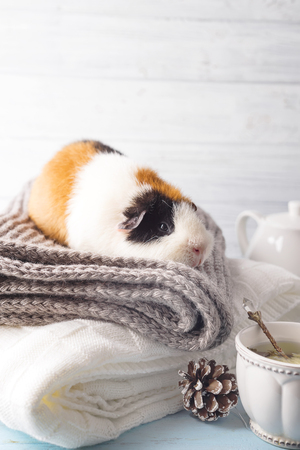 Christmas card with guinea pig on a warm plaid, copy space