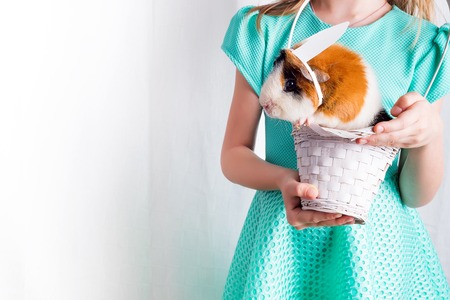 Caring little guinea pig in white basket with his friend. Standard-Bild