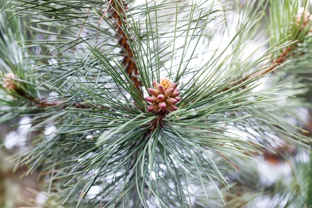 Young needles and a bump on a sprig of pine in spring.