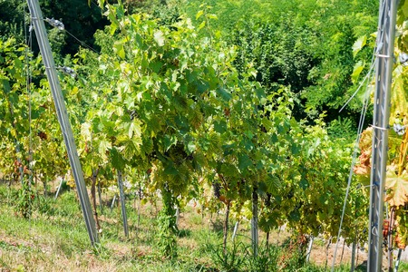 Vineyards in the sity Karlsruhe is the largest city of the state of Baden-Wurttemberg in southwest Germany.