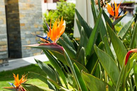 Exotic tropical flower of Strelitzia reginae or bird of paradise in garden, Bodrum Imagens