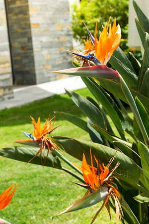 Exotic tropical flower of Strelitzia reginae or bird of paradise in garden, Bodrum 스톡 콘텐츠