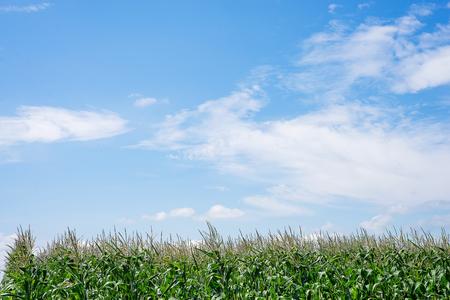 Zamknij się Pole kukurydzy na wsi. Wiele młodych uprawianych kukurydzy na sprzedaż. Skopiuj miejsce