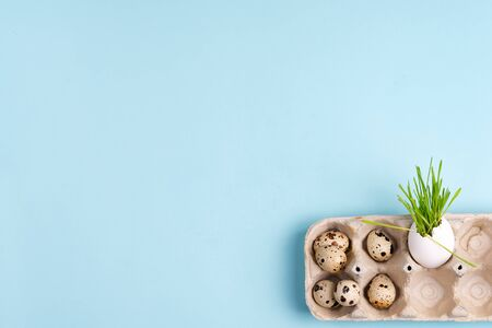Easter grass growing in egg shell and quail eggs on a blue background. Eco concept Archivio Fotografico
