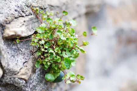 Wall made of stone covered with Green plant makes its way through the stones