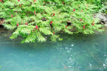 Fresh young green foliage of sumach tree above the water surface of light turquoise color with reflection.