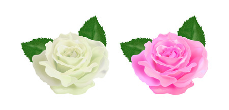 centifolia: realistic rose on a white background vector