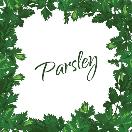 potherb: Parsley on a white background. Vector green frame of greenery