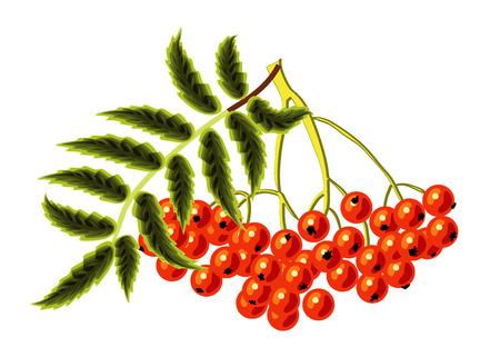 chokeberry: Rowan on a white background. Vector illustration Illustration