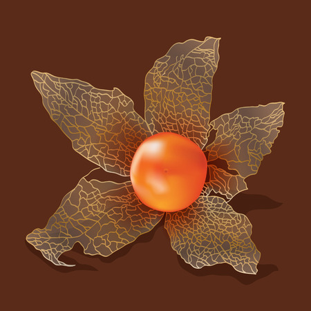 swollen: Physalis isolated from the background. Vector illustration.